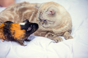 A cat sits near a guinea pig and looks at each other