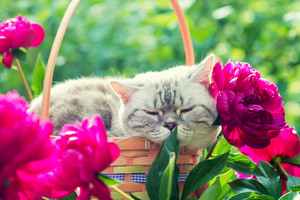 A cute cat sleeping in a basket near the peony flowers in the garden in summer