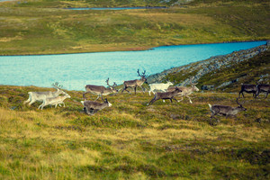 A herd of deer grazing in a meadow near Nordkapp, Norway