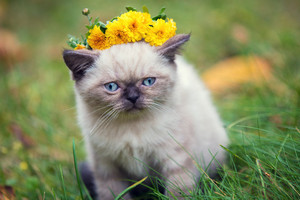 A kitten with a wreath of flowers on his head sits on a green lawn