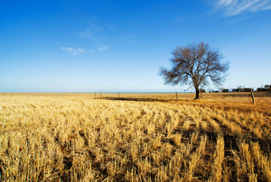 A Tree stands alone in a field