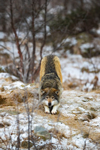 Adult male wolf strecthing in the forest in early winter
