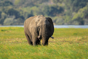 African Elephant in the green grass, Chobe National Park, Botswana