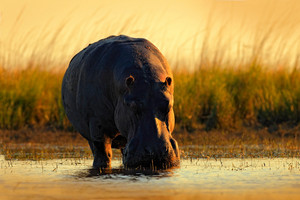 African Hippopotamus, Hippopotamus amphibius capensis, with evening sun, animal in the nature water habitat, Chobe River, Botswana, Africa