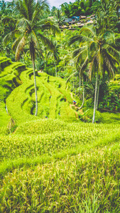 Amazing tegalalang Rice Terrace field with beautiful palm trees growing in cascade, Ubud, Bali, Indonesia