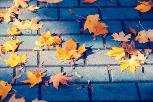 Autumn fallen maple leaves on sidewalk tiles in autumn