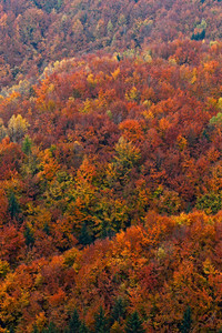 Autumn forest, many trees in the orange hills, orange oak, yellow birch, green spruce, Bohemian Switzerland National Park, Czech Republic. Orange fall landscape.