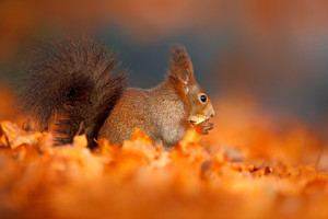 Autumn in nature. Cute red squirrel with long pointed ears eats a nut in autumn orange scene with nice deciduous forest in the background. Orange leaves with cute mammal, feeding scene with nut.