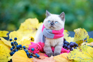 Autumn portrait of the little kitten wearing pink gray knitting scarf. Cat walking outdoor on fallen leaves in a garden