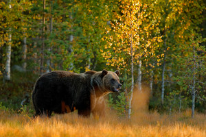Autumn wood with bear. Beautiful brown bear walking around lake with autumn colours. Dangerous animal in nature meadow habitat. Wildlife scene, Finland. Brown bear hidden in yellow pine birch forest.