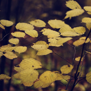 autumn yellow vintage leaves background