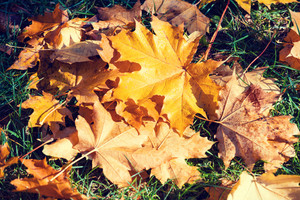Autumnal natural background of fallen leaves on the grass