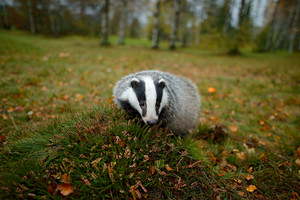 Badger in forest, animal nature habitat, Germany, Europe. Wildlife scene. Wild Badger, Meles meles, animal in wood. European badger, autumn pine green forest. Mammal environment, rainy day. Wide angle