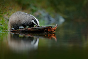 Badger in forest, animal nature habitat, Germany, Europe. Wildlife scene. Wild Badger, Meles meles, animal in wood. European badger, autumn pine green forest. Mammal environment, rainy day.