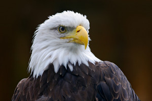 Bald Eagle, Haliaeetus leucocephalus, portrait of brown bird of prey with white head, yellow bill, symbol of freedom of the United States of America, Alaska, USA