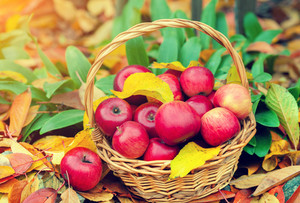 Basket with red apples on the fallen leaves in the garden in autumn