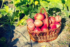Basket with red ripe apples in the garden