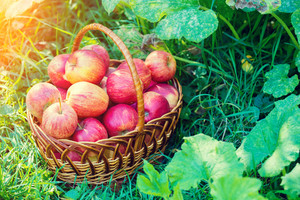 Basket with red ripe apples on the grass