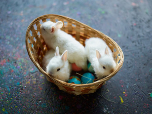 Basket with three white bunies and painted eggs