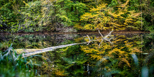 Beautiful autumn colored trees reflected in a small pond. One old tree floating on water surface