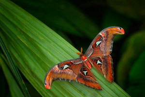 Beautiful big butterfly, Giant Atlas Moth, Attacus atlas, insect in green nature habitat, India, Asia