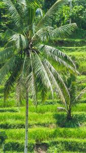 Beautiful Coconut Palm Tree in Amazing Tegalalang Rice Terrace fields, Ubud, Bali, Indonesia