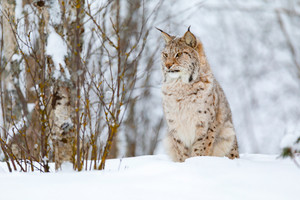 Beautiful cute lynx cub in the cold winter forest