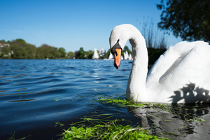 Beautiful cute white grace swan on the Alster lake on a sunny day. White pleasure sail boats passing in background. Hamburg, Germany