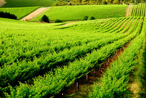 Beautiful Green Vineyard in South Australia