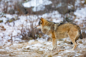 Beautiful male wolf standing in the forest