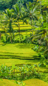 Beautiful palm trees growing in cascade amazing Tegalalang Rice Terrace fields, Ubud, Bali, Indonesia