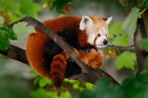 Beautiful Red panda lying on the tree with green leaves, in the nature habitat