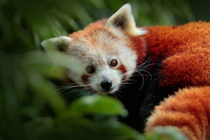 Beautiful Red panda lying on the tree with green leaves. Red panda, Ailurus fulgens, in habitat. Detail face portrait of animal from China. Wildlife scene from Asia forest. Hidens Panda from nature.