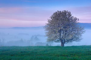 Beautiful spring in landscape. Foggy summer morning in the mountains. Blooming tree on the hill with fog. Tree from Sumava mountain, Czech Republic. Fog in twilight landscape with blooming tree.