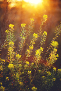 beautiful yellow wild meadow flowers on natural orange sunlight background in morning field. Outdoor spring photo