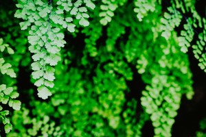 Beautyful green ferns leaves foliage of natural floral fern on dark background