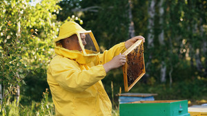 Beekeeper man checking wooden frame before harvesting honey in apiary