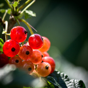 Berries in garden. Nature view