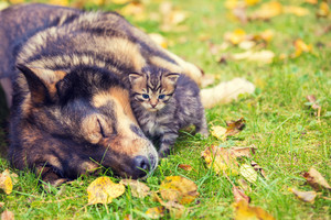Best friends dog and kitten playing together outdoors in the grass in the fall