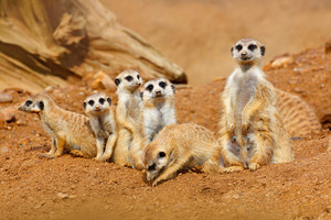 Big Animal family. Funny image from Africa nature. Cute Meerkat, Suricata suricatta, sitting on the stone. Sand desert with small mammals. Meerkat from Namibia, Africa. Meerkat family in habitat.