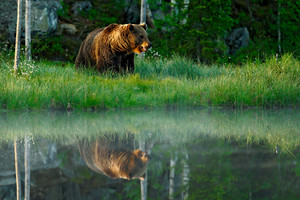 Big brown bear walking around lake in the morning sun. Dangerous animal in the forest. Wildlife scene from Europe. Brown bird in the nature habitat with water, Finland. Bear with reflection in water.