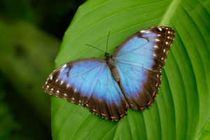 Big Butterfly Blue Morpho, Morpho peleides, sitting on green leaves, Costa Rica