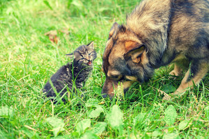 Big dog and small kitten