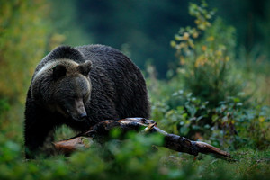 Big female brown bear feeding befor winter. Slovakia mountain Mala Fatra. Evenig in the green forest. Dangers animal, yellow autumn, wood habitat. Wildlife from Europe. Autumn trees with bear.