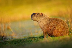 Biggest mouse, Capybara, Hydrochoerus hydrochaeris, with evening light during sunset, Pantanal, Brazil