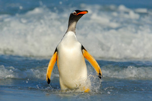 Bird in the water. Gentoo penguin jumps out of the blue water while swimming through the ocean in Falkland Island, bird in the nature sea habitat.  Wildlife scene in the nature.