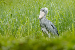 Birdwatching in Africa. Shoebill, Balaeniceps rex, portrait of big beak bird, Congo. Detail wildlife scene from Central Africa. Rare bird in the green grass forest. Shoebill in the nature habitat.