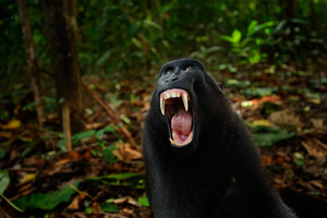 Black monkey with open mouth with big tooth, sitting in the nature habitat Celebes crested Macaque, Macaca nigra in tropical forest, wide angle animal photography, Tangkoko, Sulawesi, Indonesia