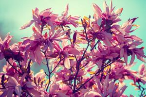 Blossom magnolia flowers against sky. Springtime