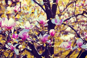 Blossom magnolia flowers. Springtime